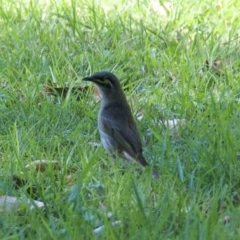 Caligavis chrysops (Yellow-faced Honeyeater) at WI Private Property - 22 Sep 2020 by wendie