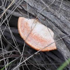 Pycnoporus coccineus (Scarlet Bracket) at Dryandra St Woodland - 24 Sep 2020 by ConBoekel