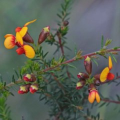 Dillwynia phylicoides (A Parrot-pea) at Dryandra St Woodland - 24 Sep 2020 by ConBoekel