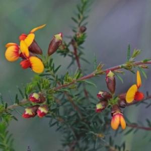 Dillwynia phylicoides at Dryandra St Woodland - 24 Sep 2020