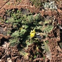 Cymbonotus sp. (preissianus or lawsonianus) (Bears Ears) at Mount Ainslie - 29 Jul 2020 by JessGio