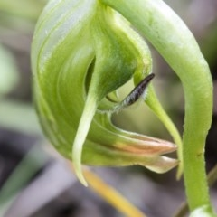 Pterostylis nutans (Nodding greenhood) at The Pinnacle - 24 Sep 2020 by AlisonMilton