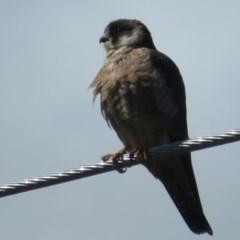 Falco longipennis (Australian Hobby) at Fyshwick, ACT - 24 Sep 2020 by Christine