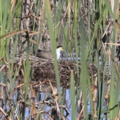 Vanellus miles (Masked Lapwing) at Jerrabomberra Wetlands - 21 Sep 2020 by AlisonMilton