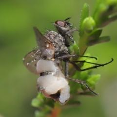 Entomophthora sp. (genus) at ANBG - 22 Sep 2020