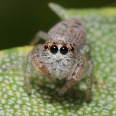 Opisthoncus sp. (genus) (Unidentified Opisthoncus jumping spider) at ANBG - 22 Sep 2020 by TimL
