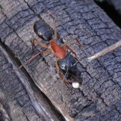 Camponotus nigriceps (Black-headed sugar ant) at Dryandra St Woodland - 24 Sep 2020 by ConBoekel