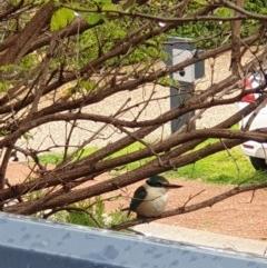 Todiramphus sanctus (Sacred Kingfisher) at Amaroo, ACT - 24 Sep 2020 by Lchristie