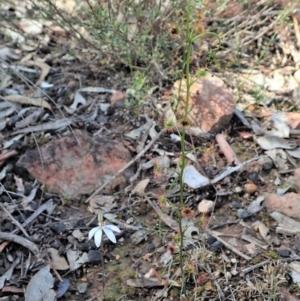 Drosera auriculata at Aranda Bushland - 21 Sep 2020