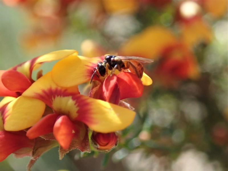 Exoneura sp. (genus) at Aranda Bushland - 21 Sep 2020