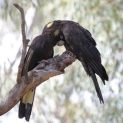 Calyptorhynchus funereus (Yellow-tailed Black-Cockatoo) at ANBG - 1 Sep 2020 by Tim L