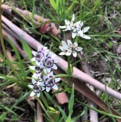 Wurmbea dioica subsp. dioica (Early Nancy) at Oakdale Nature Reserve - 24 Sep 2020 by JaneR