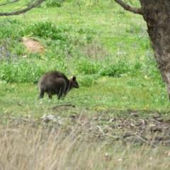 Wallabia bicolor (Swamp Wallaby) at Piney Ridge - 24 Sep 2020 by Jean