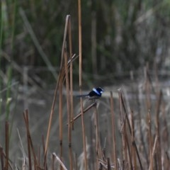 Malurus cyaneus (Superb Fairywren) at Wodonga - 24 Sep 2020 by ChrisAllen