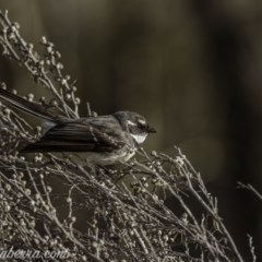 Rhipidura albiscapa (Grey Fantail) at Paddys River, ACT - 5 Sep 2020 by BIrdsinCanberra