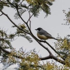 Pachycephala rufiventris (Rufous Whistler) at Paddys River, ACT - 12 Sep 2020 by BIrdsinCanberra