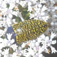 Stigmodera macularia (Macularia jewel beetle) at Jerrawangala National Park - 25 Sep 2020 by Harrisi