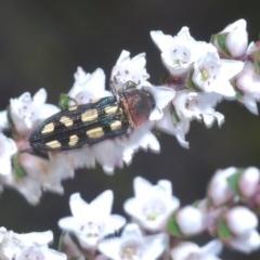 Castiarina parallela (Jewel beetle) at Jerrawangala National Park - 25 Sep 2020 by Harrisi