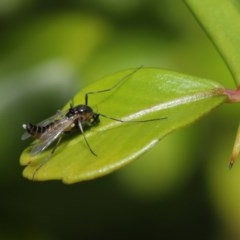 Chironomidae sp. (family) (Midge) at ANBG - 22 Sep 2020 by TimL