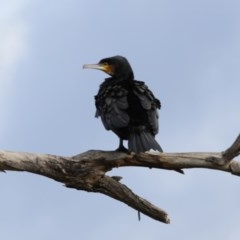 Phalacrocorax carbo (Great Cormorant) at Lake Ginninderra - 25 Sep 2020 by AllanS