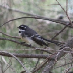 Rhipidura albiscapa (Grey Fantail) at Red Light Hill Reserve - 29 Aug 2020 by PaulF
