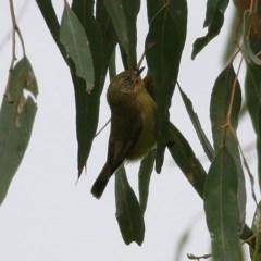 Acanthiza nana (Yellow Thornbill) at Wodonga - 26 Sep 2020 by Kyliegw