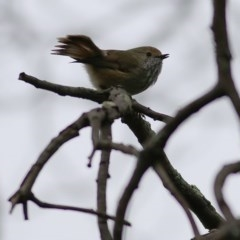 Acanthiza pusilla (Brown Thornbill) at Wodonga - 26 Sep 2020 by Kyliegw