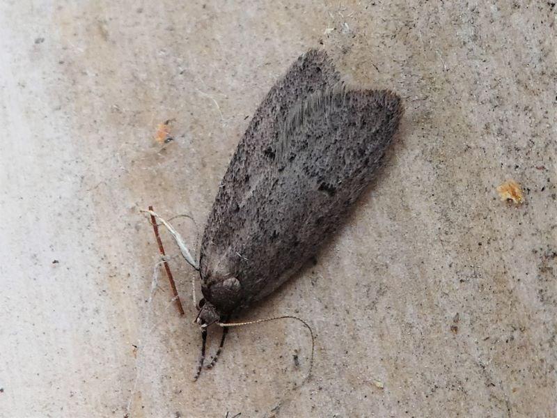 Oecophoridae indeterminate species 1 at Kambah, ACT - 8 Sep 2020
