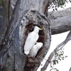 Cacatua galerita (Sulphur-crested Cockatoo) at Mount Mugga Mugga - 26 Sep 2020 by Mike