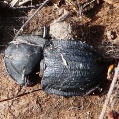 Celibe striatipennis (Pie-dish beetle) at Cooleman Ridge - 12 Sep 2020 by HarveyPerkins