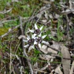 Wurmbea dioica subsp. dioica (Early Nancy) at Mount Mugga Mugga - 25 Sep 2020 by Mike