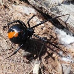 Latrodectus hasselti (Redback Spider) at Cooleman Ridge - 12 Sep 2020 by HarveyPerkins