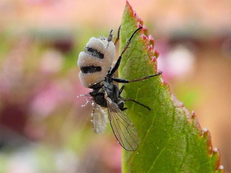 Entomophthora sp. (genus) at Kambah, ACT - 16 Sep 2020