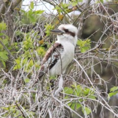Dacelo novaeguineae (Laughing Kookaburra) at Murrumbateman, NSW - 23 Sep 2020 by davobj