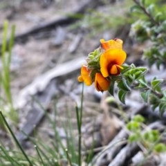 Pultenaea procumbens (Bush Pea) at Mount Taylor - 25 Sep 2020 by Shazw