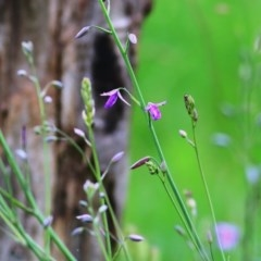 Arthropodium fimbriatum (Chocolate Lily) at Wodonga, VIC - 26 Sep 2020 by Kyliegw