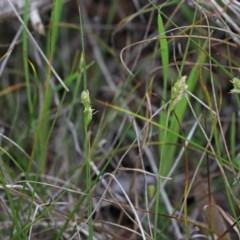 Carex inversa at Dryandra St Woodland - 26 Sep 2020