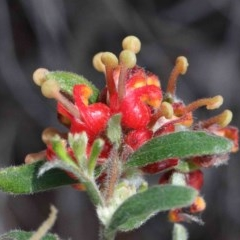 Grevillea alpina (Mountain Grevillea / Cat's Claws Grevillea) at Dryandra St Woodland - 26 Sep 2020 by ConBoekel