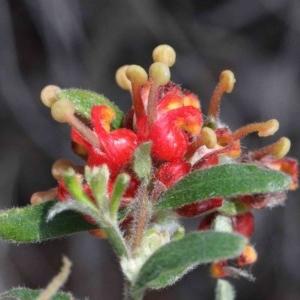Grevillea alpina at Dryandra St Woodland - 26 Sep 2020