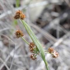 Luzula densiflora (Woodrush) at Dryandra St Woodland - 26 Sep 2020 by ConBoekel