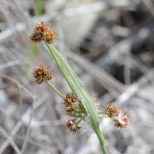 Luzula densiflora at Dryandra St Woodland - 26 Sep 2020