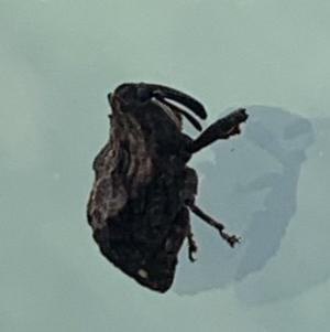 Blepiarda undulata at Berry, NSW - 27 Aug 2020