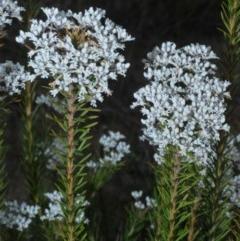 Conospermum ericifolium (TBC) at Jerrawangala National Park - 25 Sep 2020 by Harrisi