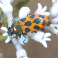 Castiarina octomaculata (Jewel beetle) at Jerrawangala, NSW - 25 Sep 2020 by Harrisi