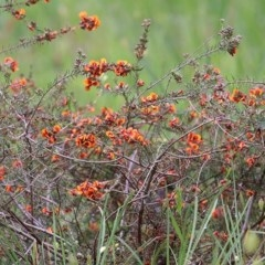 Dillwynia sp. at Wodonga, VIC - 26 Sep 2020 by Kyliegw