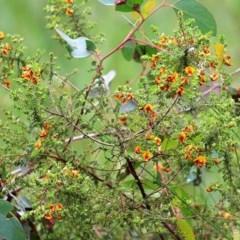 Pultenaea foliolosa (Small Leaf Bushpea) at Wodonga, VIC - 26 Sep 2020 by Kyliegw
