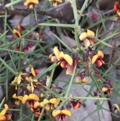 Daviesia genistifolia (Broom Bitter Pea) at Watson, ACT - 26 Sep 2020 by JaneR