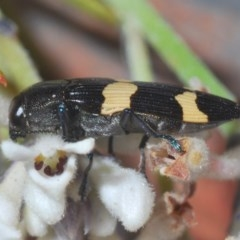 Castiarina bifasciata (TBC) at Jerrawangala National Park - 25 Sep 2020 by Harrisi
