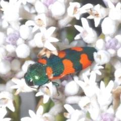 Castiarina kirbyi (Jewel beetle) at Tianjara, NSW - 25 Sep 2020 by Harrisi