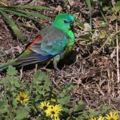 Psephotus haematonotus (Red-rumped Parrot) at Wodonga - 26 Sep 2020 by Kyliegw
